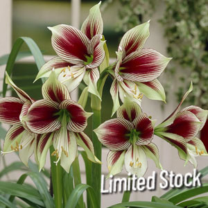Papilio Hippeastrum Hybrids SALE Special Offer 8 kinds Amaryllis Lily Bulbs