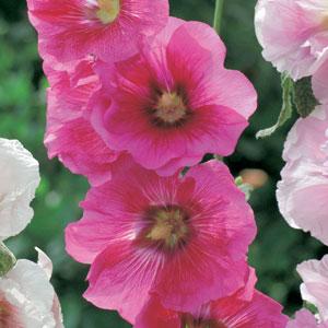 Hollyhock Cerise Pplholcer - Garden Express Australia