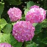 Hydrangea Tosca