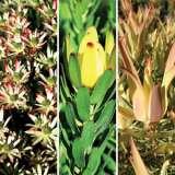 Leucadendron Collection 2 X 3 Plants