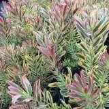 Leucadendron Jester