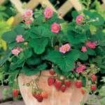 Strawberry Roman Pink