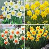 Daffodil Garden Collection 1 Pre-order (22 Bulbs)