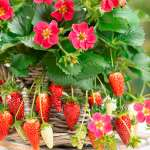 Strawberry Fragoo Rose
