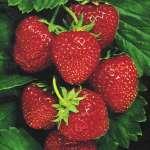 Strawberry Juliet