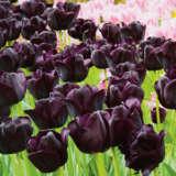 Tulip Paul Scherer- Pre-order