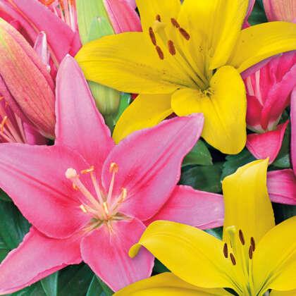 Lilium Pink Yellow Blend Pklilpye - Garden Express Australia