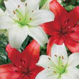 Lilium Red White Blend Pklilrwh - Garden Express Australia