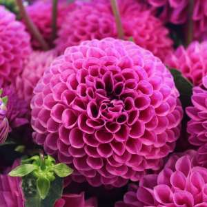 Dahlias Growing & Planting Guide