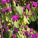 Callicarpa Beauty Berry