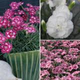 Dianthus Angel Coll 2021 Coldiaaco - Garden Express Australia