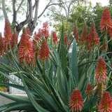 Aloe Super Red Tm