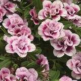 Calibrachoa Minifamous Double Pinktastic