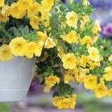 Calibrachoa Minifamous Pure Yellow Lpocalmpy