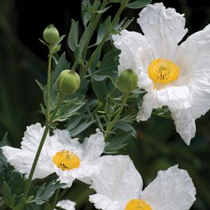 Californian Tree Poppy