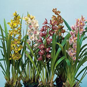 Cymbidium Orchid Mixed Placormxd
