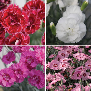 Dianthus Angel Collection
