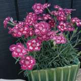Dianthus Angel Of Desire