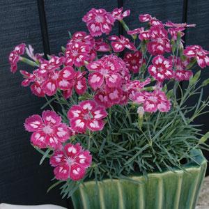 Dianthus Angel Of Desire Lpodiaaod - Garden Express Australia