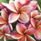 Frangipani George Brown