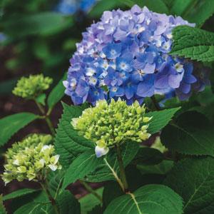 Hydrangea Endless Summer The Original ®