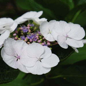 Hydrangea Libelle Lpohydlib