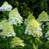 Hydrangea Paniculata Green Spire