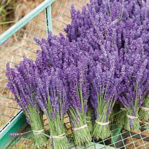 Lavender Oiling Grosso 2019 Lpolavogr