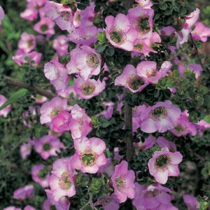 Leptospermum Lavender Queen