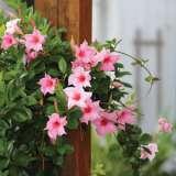 Mandevilla Aloha Bright Pink Pplmanabp