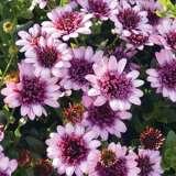 Osteospermum 3d Raspberry