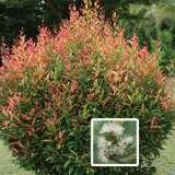 Syzygium Townsville