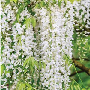 Wisteria Floribunda White 2019 Pplwiswhi