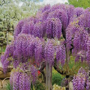 Wisteria Royal Purple Pplwisrpu