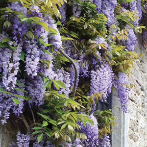Wisteria Sinensis 2019 Pplwissin
