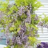 Wisteria Violaceae Plena 2019 Pplwisvpl