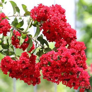 Crepe Myrtle Enduring Summer Red Pplcmyesu - Garden Express Australia