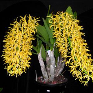 Dendrobium Orchid Premium Deepest Gold