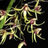 Dockrillia Orchid Caudiculata X Fuliginosa (rare Terete Dendrobium Hybrid)