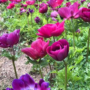 Anemone Poppy Bordeaux