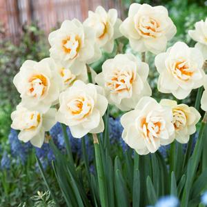 Daffodil Gay Tabor