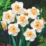 Daffodil Mon Cherie