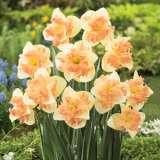 Daffodil Butterfly Vanilla Peach