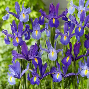 Dutch Iris Discovery Mix