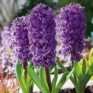 Hyacinth Autumn Bulb