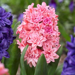 Hyacinth Spring Beauty