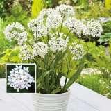 Allium Bridal Mist Pkallbmi 2020