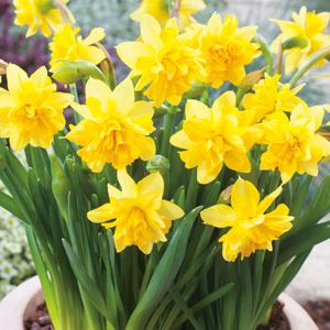 Daffodil Tete Boucle Pkdaftbo