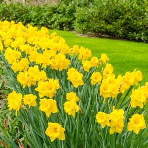 Daffodil Yellow Trumpet Pkdafytr 2020