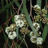 Eucalyptus Elata
